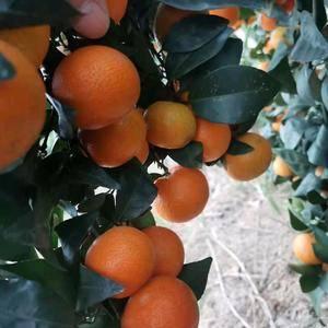 广西象州县砂糖橘上市了 寻求采购商合作共赢 手机微信...