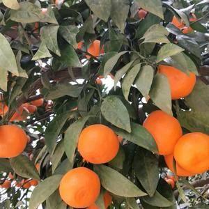 中熟蜜橘,一手货源,颜色火红,口感纯甜,需要的联系我。