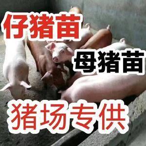 山东猪场18653912855常年向社会提供优质仔猪,二...