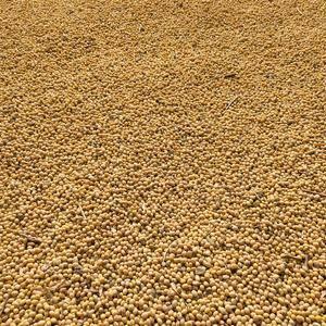 安徽黄豆,农家自产,有需要黄豆的朋友请与我联系18365...