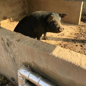 林间散养黑猪,纯正华北民猪,吃的都是农家自种的非转基因的...