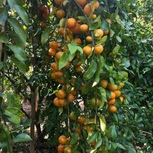 广西沙糖橘梧州产地沙糖桔陆续大量上市,有意向的老板欢迎来...
