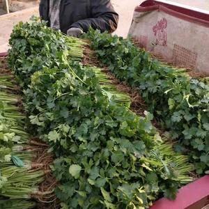 大量供应大叶香菜13210156388
