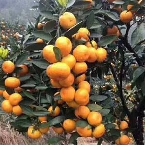 大量供应优质正宗涌泉蜜橘橘树苗,有兴趣种橘子的农户联系我...