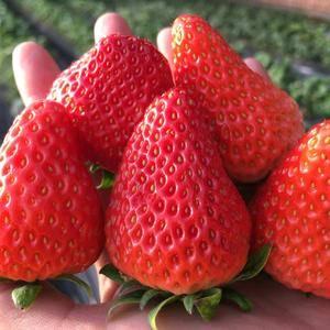 宁夏银川草莓 现在正在预售 月底大量上市 欢迎各地客商前...
