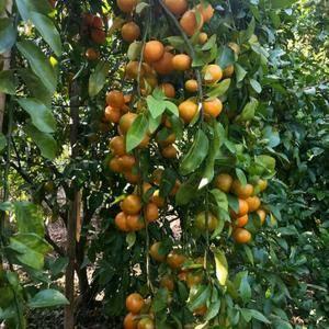 广西砂糖橘梧州产地陆续大量上市,有意向的老板欢迎来实地考...