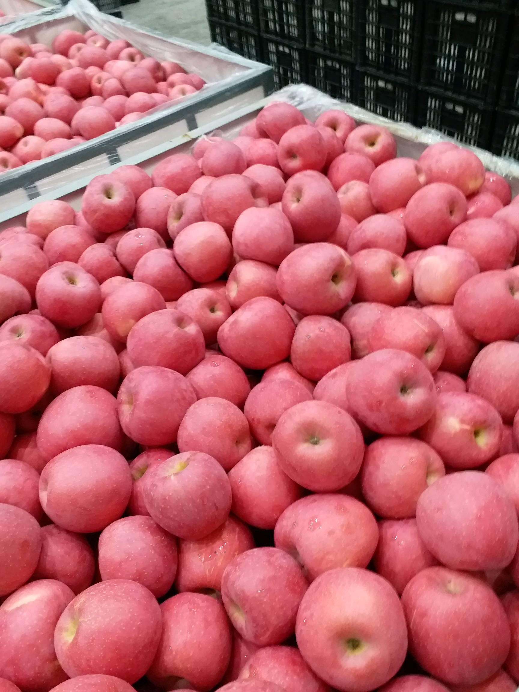冷库红富士苹果大量出库中,微电151910193