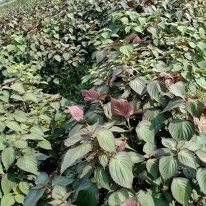 新鲜紫苏 人工拔草 自然生长