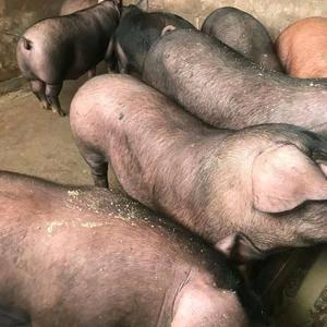 长期大量供应生猪、大肥猪、中猪、小猪、 外三元、内三元...