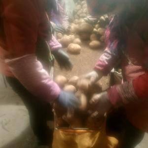河北张家口张北县种薯基地库存土豆原种正在热销中,品种有2...