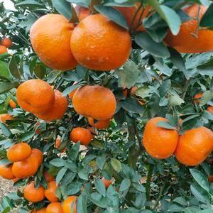 沃柑,橙子,莫科特