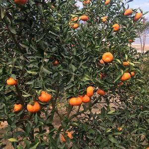 福州福橘,酸酸甜甜。很好吃