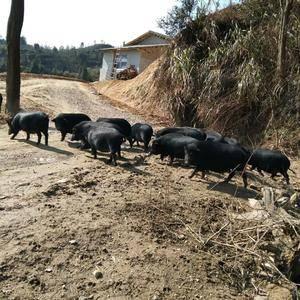 本人自家散养的藏香猪,欢迎朋友们订购!