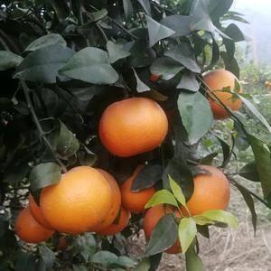 自家种的沃柑,农家一手货源,绿色环保,清甜爽口,欢迎来电...