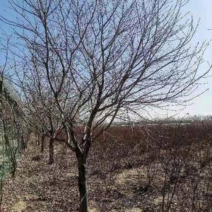 郑州玫瑰庄园批发樱花树价格优惠,主要出售10—20公分樱...