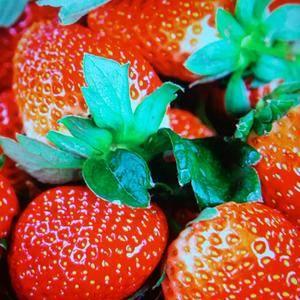大连庄河草莓,素有草莓之乡美称,自家大棚,自产自销,果大...