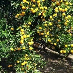 自家果园有年橘20万斤,1.2元/斤 阳山橘桔10万。...