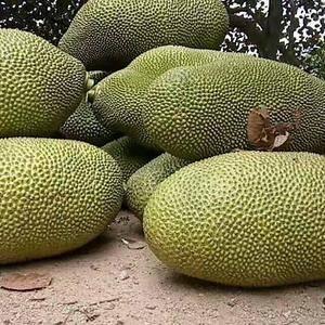 菠萝蜜是世界上最大的水果,也称水果之王,重达10公斤至3...