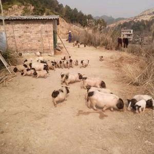 本公司长期供应巴马***苗,肉猪,及土白猪苗