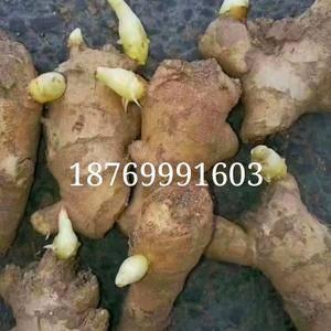 山东优质大黄姜,368高产姜种,小黄姜姜种产地直销187...