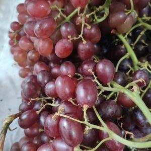 自家种无核克瑞森葡萄,源头一手货源,无核葡萄,果粒色如图...
