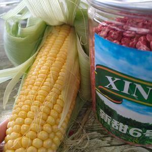 本地甜玉米即将大量上市产地直发一手货源,可视屏看货,本人...