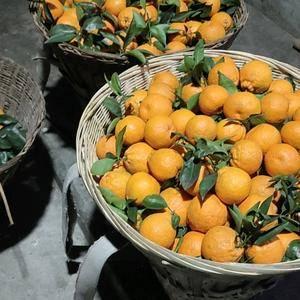 石棉黄果柑果实呈倒卵圆形,单果重140-180g,多平...