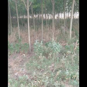 大量供应白蜡树8至12至14个头,0,150一一0.35...
