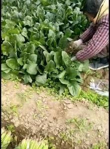 大叶菠菜,产地直销,大量上市中