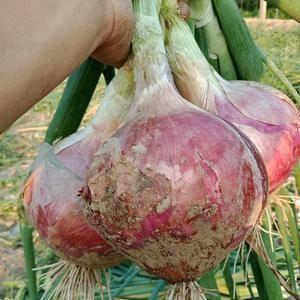 滨州惠民二红洋葱种植基地开始上市中,供货量大,价格合理,...