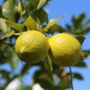 云南澜沧鲜柠檬,四季鲜果,欢迎咨询