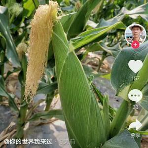 本人有大量青玉米出售