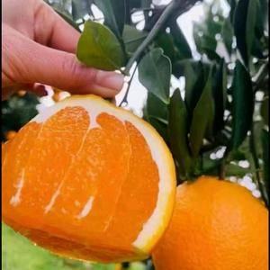 秭归伦晚脐橙 中华红橙 夏橙 红心橙 血橙 玫瑰香橙 产...