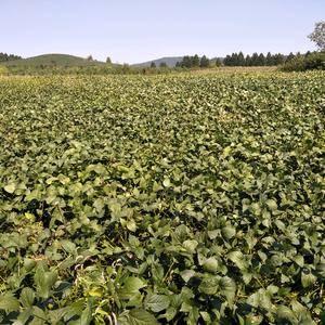 东北大豆蛋白高质量好价格优,黑豆,小豆,蒲公英根茶