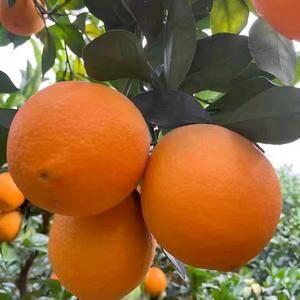 秭归脐橙,长虹、纽荷儿.园虹、中华红,伦晚脐橙 夏橙...