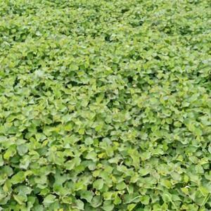 大量新鲜贵州鱼腥草(折耳根)出售,一手货源,长期供应16...