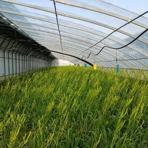 2021年新鲜黄花菜有质有量,自产自销,每天采摘保证新鲜