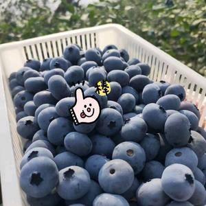 庄河有机蓝莓产地直发质优