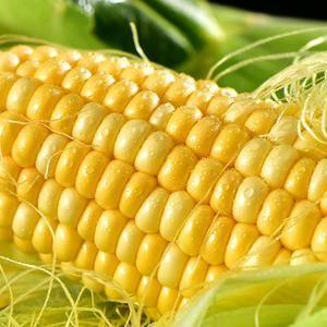预售广东湛江水果玉米 颗粒饱满 鲜嫩多汁 产地直发