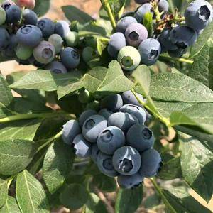 原产地温棚栽蓝莓大量上市,果品特好,口感最棒,欢迎订购,...