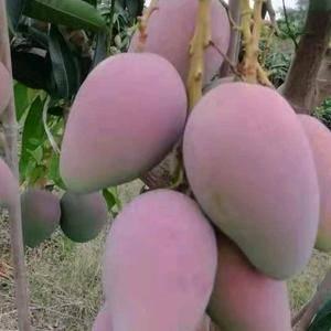 自己种的芒果,主要发快递零售,一件代发,精品果质,价格低...