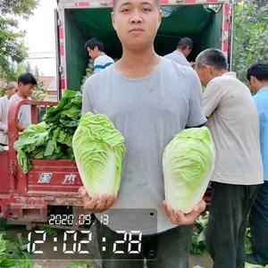 品种:夏阳白菜(夏阳白-小包头-大头小定-热季白菜) ...