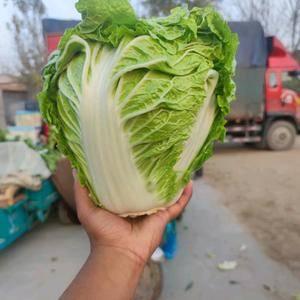 品种:圆头白菜(下锅烂白菜-圆头白菜-大头小定白菜-冬季...