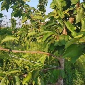 果树拉枝器开角器厂家直销全国发货