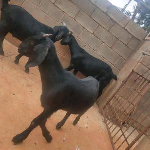 萨能山羊四个多月左右小母50斤左右,