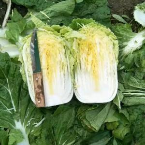 各位客商需要黄心大白菜与我联系,代办电话15662118...