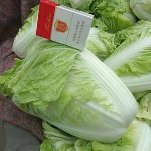夏阳白菜15069868999  山东肥城蔬菜产区夏...