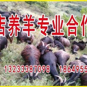 散养的黑山羊,肉质好,吃的百羊草,喝的是井水